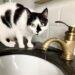 gatos beben agua grifo